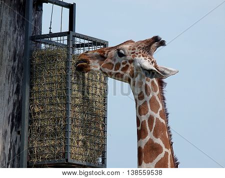 High pasture giraffes. Boryszew, Poland - May 3, 2016 A giraffe consumes food with high pasture raised on his catwalk in a zoo in Boryszew.