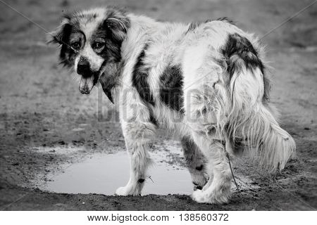 mongrel dog with his tongue hanging out around the puddles of black and white photography