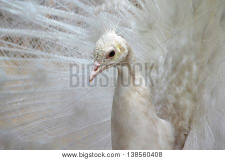 albino peacock tail dissolved in Penza Russian zoo