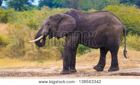 Big Male Elephant eating soil for minerals and help digestion
