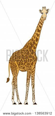 Beautiful adult Giraffe looking at us, illustration isolated on white.