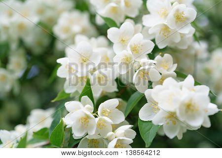 dense jasmine bush blossoming in summer day, shallow depth of field