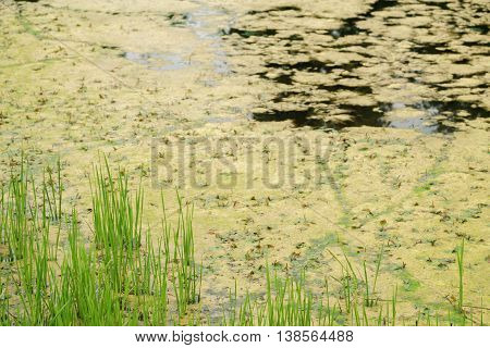 large amount of algae in pond, water pollution problem