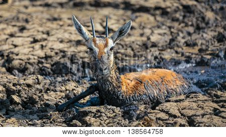 Impala stuck in mud in Serengeti Tanzania