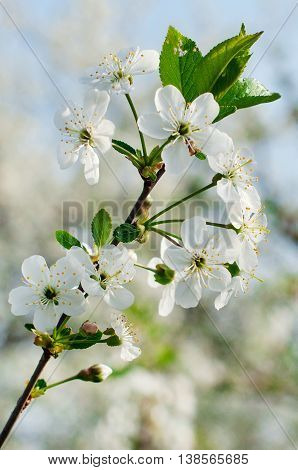 Blossom branch of cherry-tree in spring parkfocus