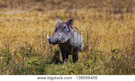 Common Warthog (Phacochoerus africanus) in Savannah Serengeti