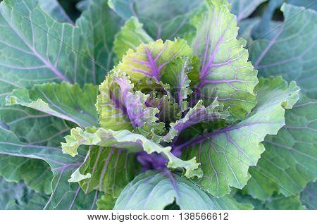 Fresh Cabbage Heads In A Garden