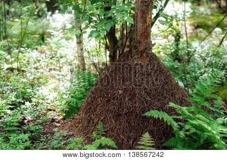 Big Anthill With Colony Of Ants In Wood