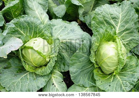 Fresh cabbage heads in a garden, ready for harvest