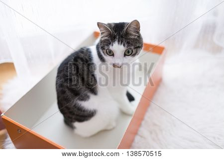 domestic cat playing in the cardboard box