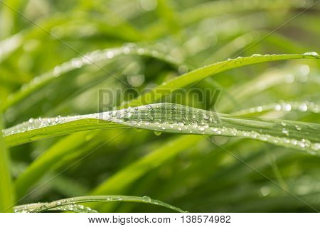 The springtime raindrops on green lush grass