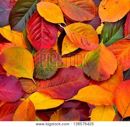 Vivid Colorful Autumn leaves texture close up - seasonal background
