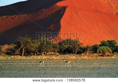Beautiful landscape with red dunes and antelopes springbok at sunrise Sossusvlei Namib Naukluft National Park Namibia