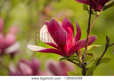 Blossoming of pink magnolia liliflora Nigra flowers in spring time, floral background