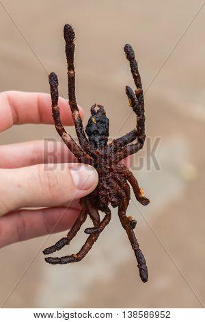 Close-up of fried tarantula snack in Cambodia