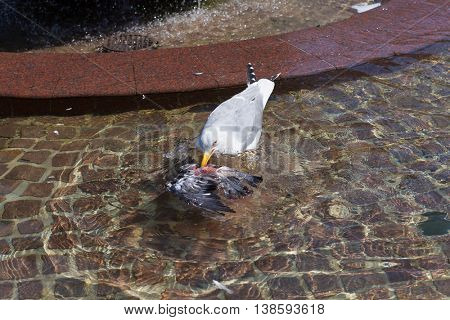 Seagull feeding from a dead pigeon