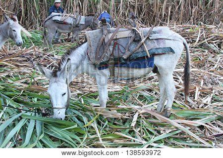 Magdalena Cajamarca Peru - July 13 2016: White burro eats sugarcane tops in sugarcane field in Magdalena Cajamarca Peru on July 13 2016