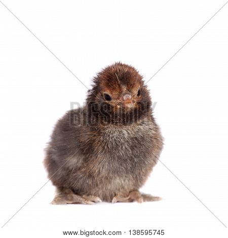 Small black chick isolated on white background