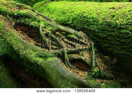 a picture of an exterior Pacific Northwest conifer logs with moss