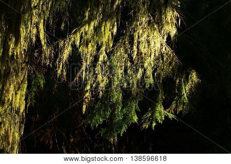 a picture of an exterior Pacific Northwest mossy sunlit Hemlock tree