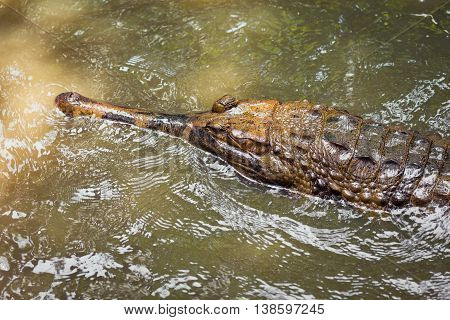 Portrait of big crocodile in the green water