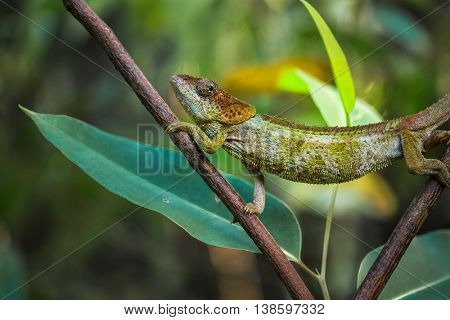 Close up shot of the chameleon walking on the branch of the exotic plant in a forest. Madagascar