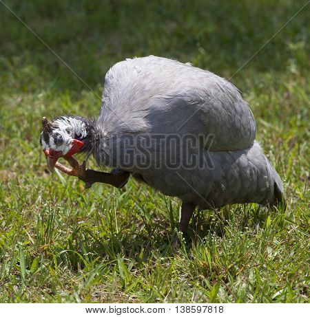 Guinea that is scratching an itch on its head on a field