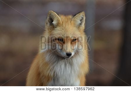 Gorgeous red fox with fluffy fur and a sharp looking expression.
