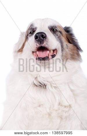 Mixed breed dog isolated on white background