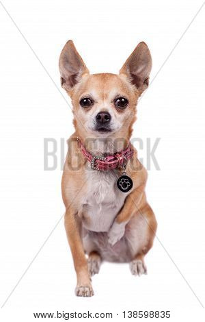 Chihuahua, 9 years old, isolated on the white background