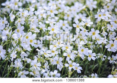 White Flowers Of Cerastium Tomentosum Is An Ornamental Plant Of The Caryophyllaceae Family.