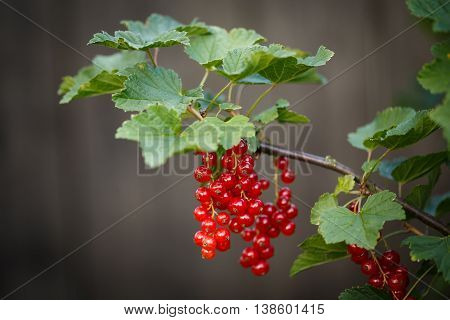 Red Currant Ripening On The Branch