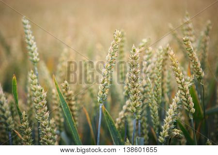 Wheat Field. Ears Of Wheat Close Up. Background Of Ripening Ears Of Meadow Wheat Field. Rich Harvest
