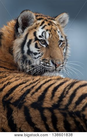Close up portrait of Siberian Tiger Cub(Panthera Tigris Altaica)