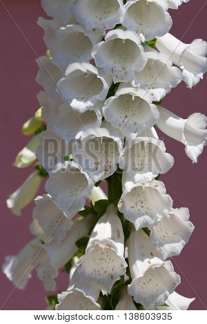 Close view of white Foxglove (Digitalis lanata) flower. It is also known as Witchesâ?? Gloves, Dead Menâ??s Bells, Fairyâ??s Glove, Gloves of Our Lady, Virginâ??s Glove, Fairy Caps and Fairy Thimbles