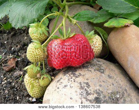 One of ripe strawberries mutant and around the unripe fruit strawberries