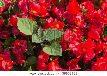Flower bed with red vinca closeup. Nature