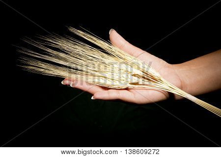 Hands with offering wheat food grain organic