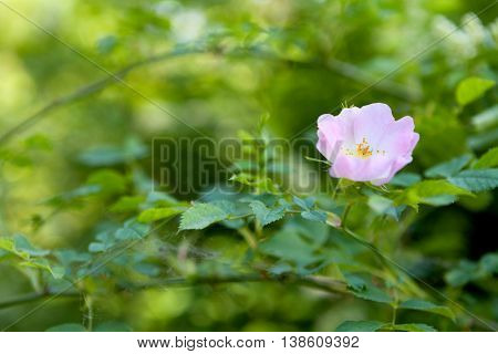 Close up of a dog rose (Rosa Canina) with green leaves on a blurry background. Shallow focus (Only flower is sharp).