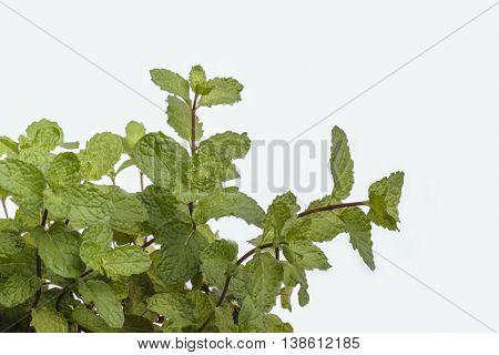 Spearmint (mint / Mentha spicata) or Pudina