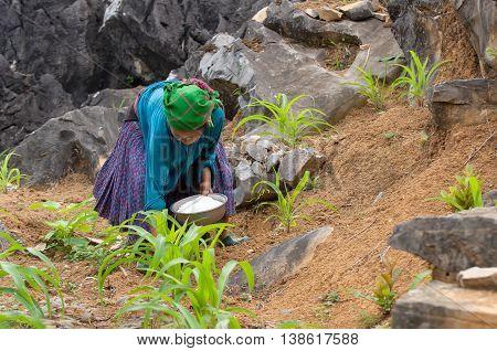 HA GIANG, VIET NAM, 14 February 2016 ethnic Hmong women, highland Ha Giang, corn planting season, Stone Mountain
