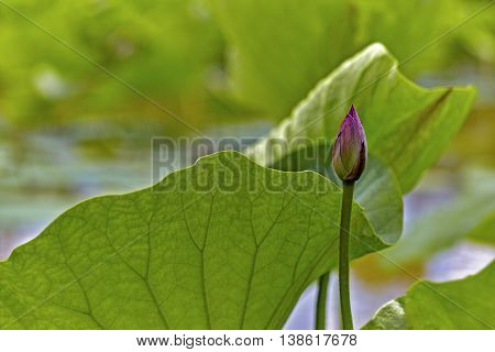 Giant Green Leaf With A Bud