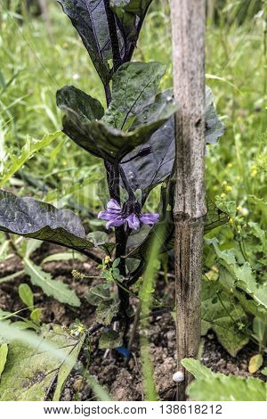 eggplant (aubergine) big leaves, plant closeup outdoor
