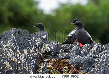 Pigeon Guillemots on a rock on St. Lazaria Island