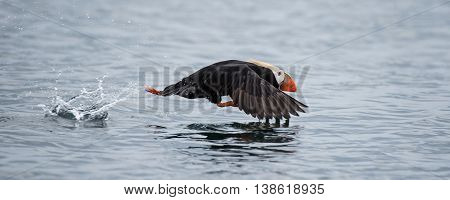 Tufted Puffin begins its long take off process
