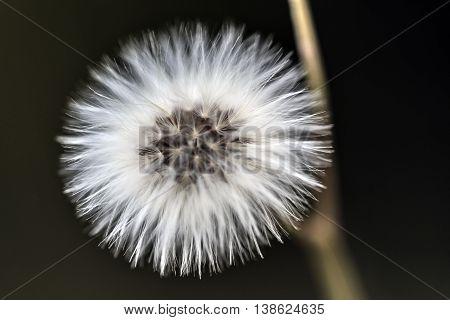 Spherical hairy white flower macro close up