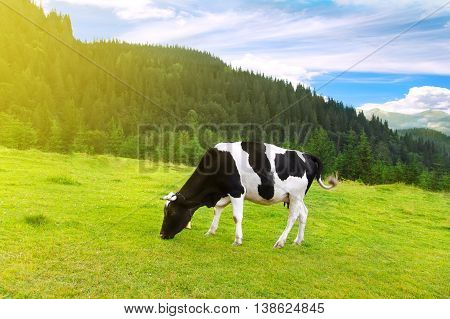 black and white cow grazing on meadow in mountains. Cattle on a mountain pasture. Summer sunny day. Cow in pasture. Mountain meadow. Green meadow in mountains and cow summer landscape.