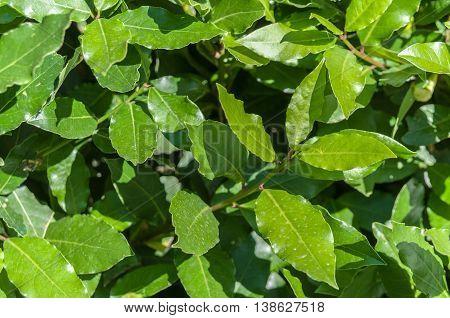 laurel leaves, bay leaf, summer sunny day