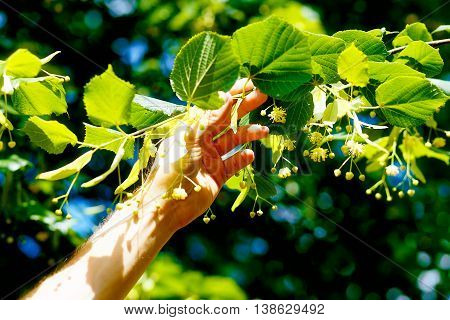 Picking Up The Beautiful Linden Tree Fowers On Bright Summer Day.