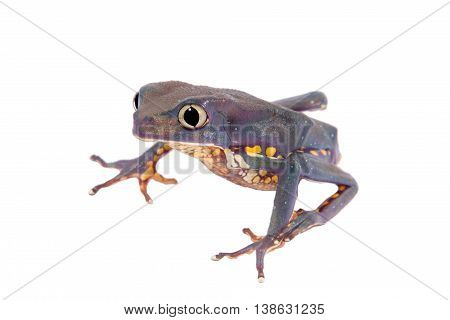 The Burmeister's leaf frog or Common walking leaf frog, Phyllomedusa burmeisteri , isolated on white background